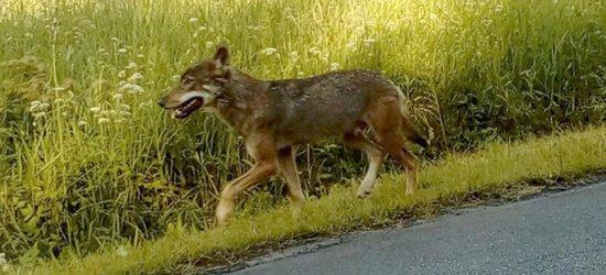 BIESZCZADY: To wilk zaatakował dwójkę dzieci (FOTO)